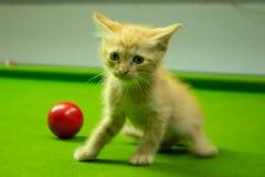 Gattini persiani Brown che sono svegli Fotografia Stock