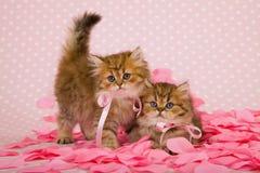 Gattini persiani del cincillà sul colore rosa Fotografia Stock Libera da Diritti