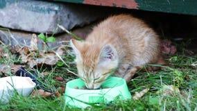 Gattini rossi che mangiano alimento da una ciotola stock footage