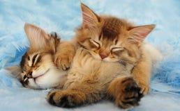 Gattini sonnolenti Fotografia Stock