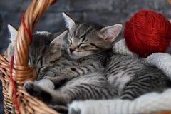 Gattini stretti a sé in un canestro di legno Fotografia Stock