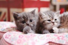 Gattini svegli di Britannici Shorthair Immagini Stock