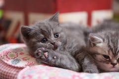 Gattini svegli di Britannici Shorthair Fotografia Stock Libera da Diritti