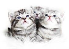 Gattini svegli su un fondo bianco Bello babi dei gattini della peluche Immagine Stock Libera da Diritti