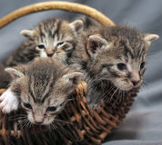 Gattini in un canestro Fotografia Stock