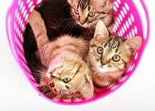 Gattini in un canestro Immagini Stock
