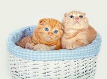 Gattini in un canestro Fotografia Stock Libera da Diritti