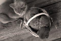 Gattini in un canestro, gatto della madre che prende cura loro Immagine Stock