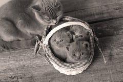 Gattini in un canestro, gatto della madre che prende cura loro Fotografie Stock