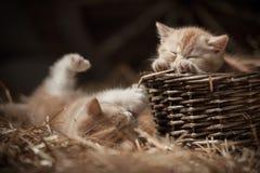 Gattini in un cestino Fotografie Stock