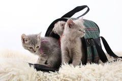 Gattini in una borsa per trasporto ad un fondo bianco Immagini Stock Libere da Diritti