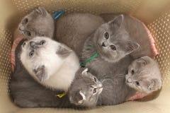 Gattini in una borsa per trasporto ad un fondo bianco Immagine Stock Libera da Diritti