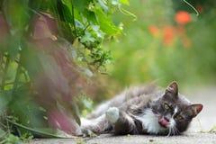 Gattino abbastanza grigio che lecca la sua bocca Immagini Stock Libere da Diritti