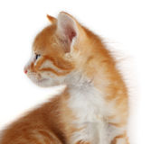 Gattino abbastanza rosso Fotografia Stock Libera da Diritti