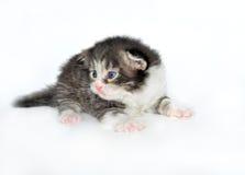 Gattino ad un'età di 2 settimane Immagine Stock Libera da Diritti