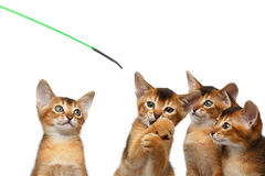 Gattino allegro dell'abissino quattro su fondo bianco isolato Immagini Stock