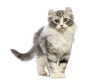 Gattino americano del ricciolo, 3 mesi, esaminanti la macchina fotografica Immagine Stock
