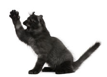 Gattino americano dell'arricciatura, 3 mesi, con la zampa in su Fotografia Stock