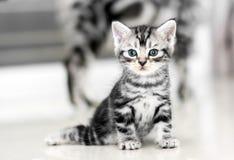 Gattino americano sveglio del gatto dello shorthair Immagine Stock