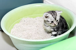 Gattino americano sveglio del gatto dello shorthair Immagine Stock Libera da Diritti