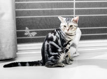 Gattino americano sveglio del gatto dello shorthair Fotografie Stock Libere da Diritti