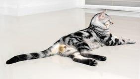Gattino americano sveglio del gatto dello shorthair Fotografia Stock Libera da Diritti