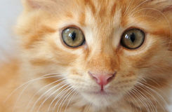 Gattino arancio del soriano Fotografia Stock Libera da Diritti