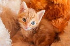 Gattino arancio nel letto dell'animale domestico Immagini Stock Libere da Diritti