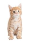 Gattino arancio sveglio attento del soriano Fotografia Stock