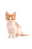 Gattino arancione e bianco Fotografia Stock