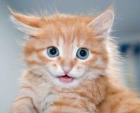 Gattino arancione sveglio con gli occhi azzurri Fotografia Stock Libera da Diritti