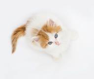Gattino aspettante Immagine Stock