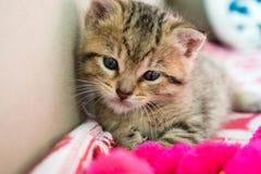 Gattino barrato sulla coperta, gattino sveglio della tigre da 3 settimane un piccolo con gli occhi azzurri immagini stock