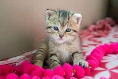 Gattino barrato sulla coperta, gattino sveglio della tigre da 3 settimane un piccolo con gli occhi azzurri fotografia stock