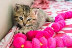 Gattino barrato sulla coperta, gattino sveglio della tigre da 3 settimane un piccolo con gli occhi azzurri immagine stock