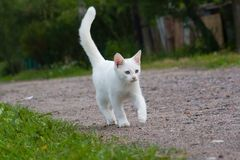 Gattino bianco. Fotografia Stock