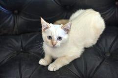 Gattino bianco con gli occhi azzurri immagine stock libera da diritti