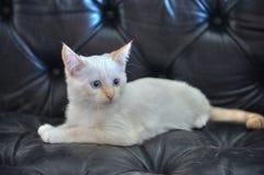 Gattino bianco con gli occhi azzurri immagine stock