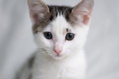 Gattino bianco con gli occhi intelligenti Fotografia Stock Libera da Diritti