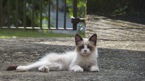 Gattino bianco del gatto di sonno Immagini Stock