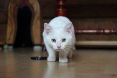 Gattino bianco dolce Fotografie Stock Libere da Diritti