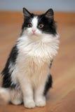 Gattino in bianco e nero divertente Fotografie Stock
