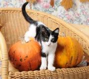 Gattino in bianco e nero divertente fra le zucche su una sedia di vimini Immagini Stock
