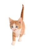 Gattino bianco ed arancione Immagini Stock Libere da Diritti