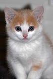Gattino bianco elegante Immagine Stock Libera da Diritti