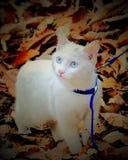 Gattino bianco nelle foglie cadute Fotografie Stock