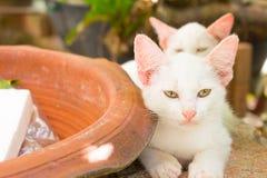 Gattino bianco sveglio Immagini Stock