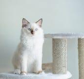 Gattino bianco sveglio Immagine Stock Libera da Diritti