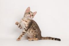 Gattino blu del Bengala Fotografie Stock