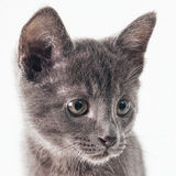 Gattino blu russo Immagine Stock